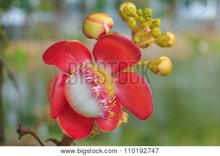 Cannonball Tree Flower (couroupita Guianensis) Over Green Background, Selective Focus