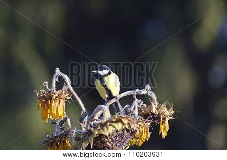Great Tit Parus Major Major Sitting On Sunflower In  Autumn Garden