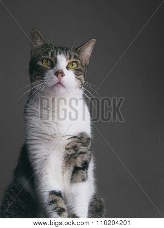 Tabby cat with grey background