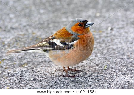 The Chaffinch bird.