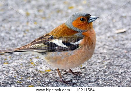 Chaffinch bird, songbird of the family of finches