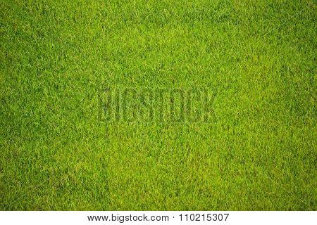 Closeup Of Rice Field