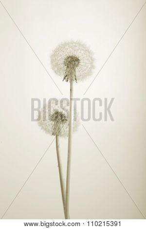 Monochorme Photo Of Lovely Dandelions Against White Background