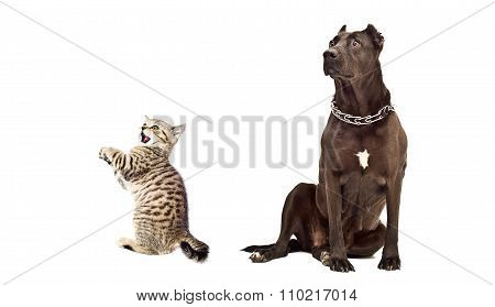 Staffordshire Terrier and funny kitten Scottish Straight