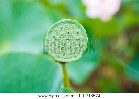 Lotus bud. Nelumbo.
