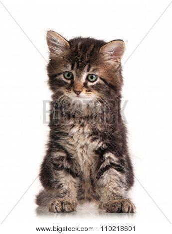 Cute Siberian Kitten