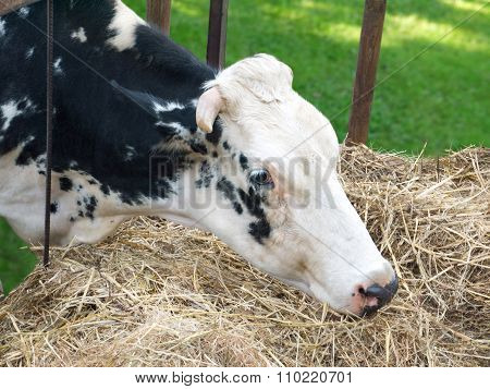 Black And White Cow Eats Hay From The Manger