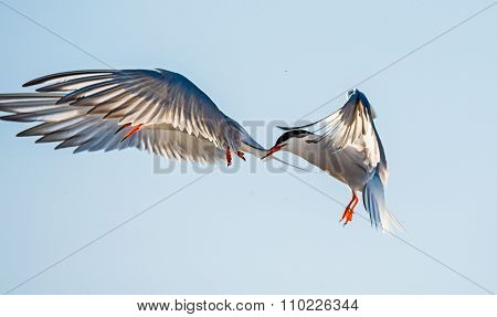 The Tern Flies Holding A Beak A Tail Of Other Tern. Closeup Portrait Of Common Terns (sterna Hirundo