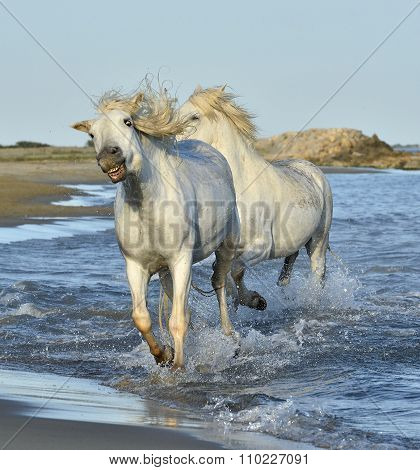 White Camargue Horses Running On The Blue Water In Sunset Light. Parc Regional De Camargue - Provenc