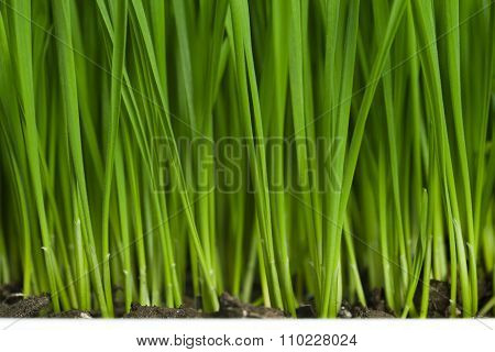 Fresh Green Wheatgrass