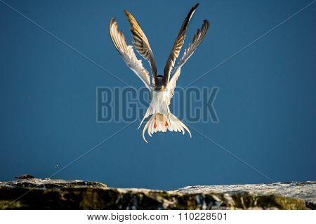 Two Common Tern (sterna Hirundo) Interacting In Flight