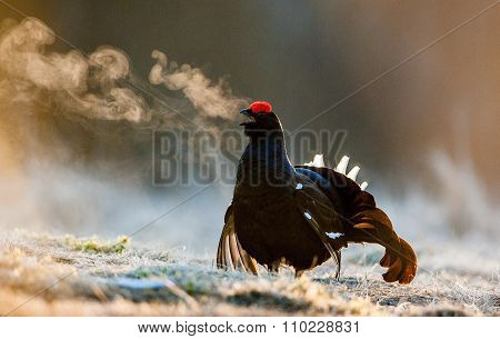 Portrait Of A Lekking Black Grouse (tetrao Tetrix) With Steam Breath.