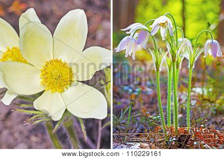 Medicinal plant the Chamber open or the dream herb (Pulsatilla)