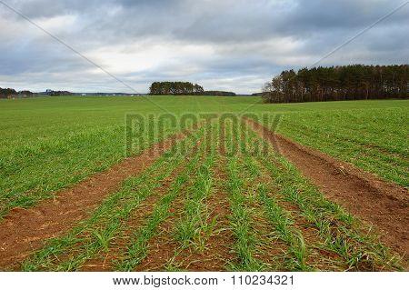 Autumn Field With Winter Grain Crops