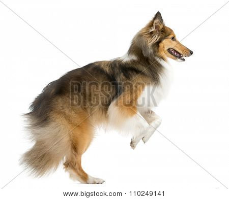 Shetland Sheepdog jumping in front of a white background