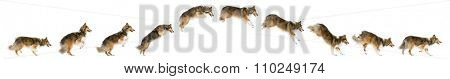 Composition of a Shetland Sheepdog jumping in front of a white background