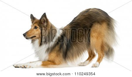 Shetland Sheepdog bowing in front of a white background