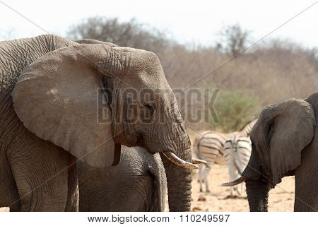 African Elephants At A Waterhole