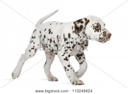 Dalmatian puppy running in front of a white background
