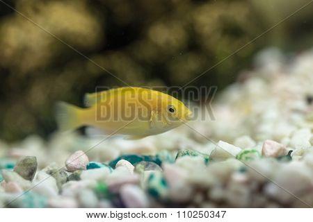 Labidochromis Yellow In Quarium