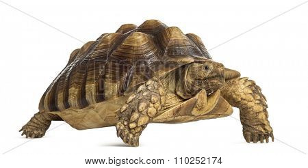 Male African spurred tortoise (4 years old), Centrochelys sulcata, in front of a white background