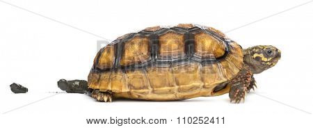 Red-footed tortoises (2 years old), Chelonoidis carbonaria,  pooping in front of a white background