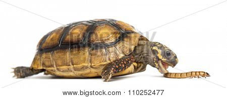 Red-footed tortoises (2 years old), Chelonoidis carbonaria, eating a worm in front of a white background