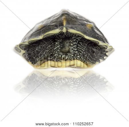 Chinese stripe-necked turtle (1 year old), Ocadia sinensis, hiding in its shell in front of a white background