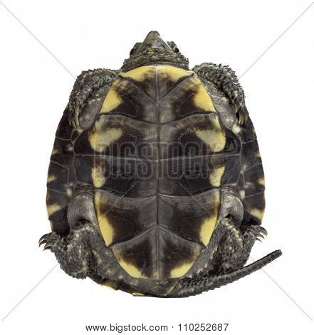 European pond turtle (1 year old), Emys orbicularis, in front of a white background
