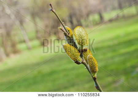 Buds of pussy-willow in spring season