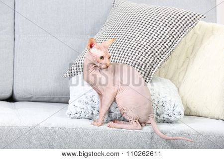 Cat sphynx playing with toy on couch