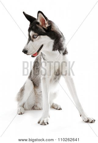 Siberian Husky sitting, isolated on white