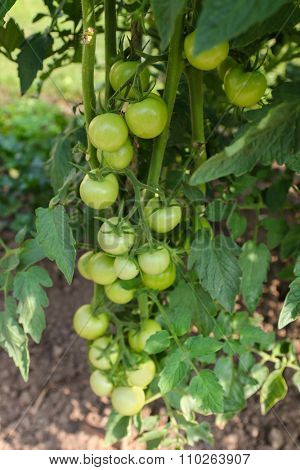 Closeup of unripe Cherry tomatoes on the vine in Europe