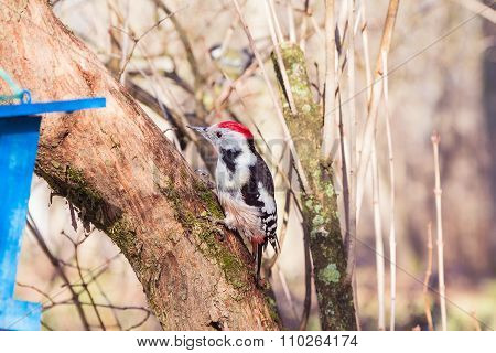 Redhead Woodpecker On The Tree Trunk (dendrocopos Major)