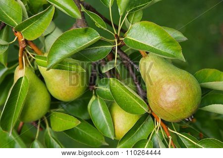 Closeup of a Pear tree with its fruit during summer season in Carinthia, Austria
