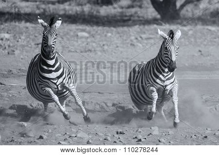 Herd Of Zebra Fleeing From Danger At Dusty Waterhole Artistic Conversion