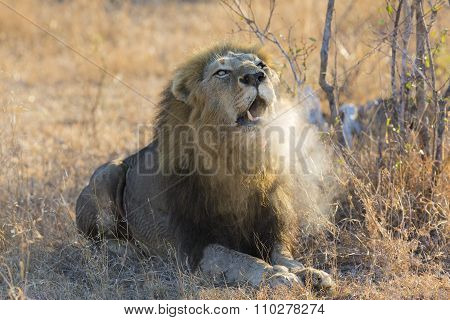 Large Male Lion Roar In The Early Morning With Steam On His Mouth