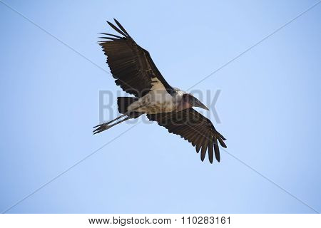 Marabou Stork Fly And Glide In Blue Sky