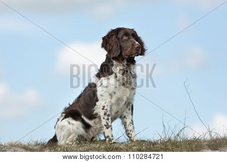 Kleiner Munsterlander Dog Outdoors In Nature