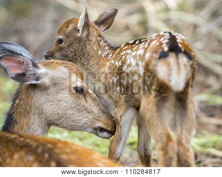 Fawn and mom deer in a forest, focus on baby eye