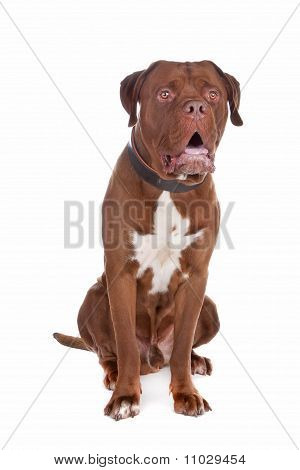 Mix Bull Mastiff,tosa Inu