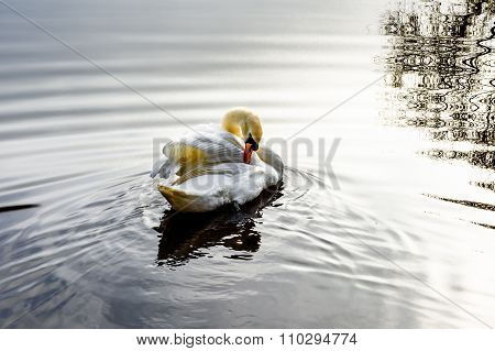 Swan Is Cleaning Up
