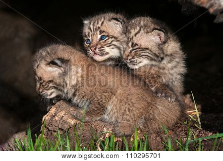 Three Bobcat Kittens (lynx Rufus)