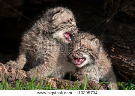 Two Crying Bobcat Kittens (lynx Rufus)