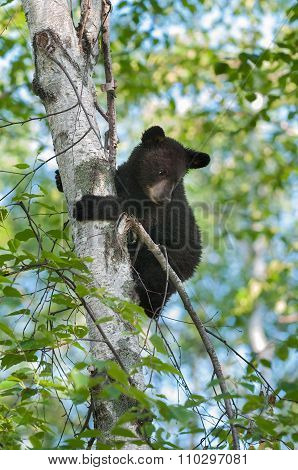 Black Bear Cub (ursus Americanus) Looks Down From Tree