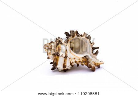 White And Marron Shell Isolated In White Background