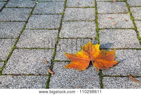 maple leaf on the pavage