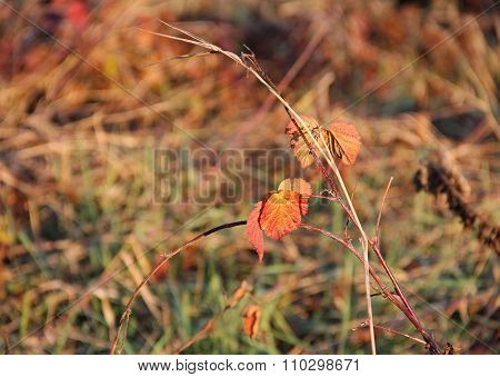 bramble in autumn