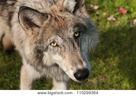 Grey Wolf (canis Lupus) Looks Up At Viewer