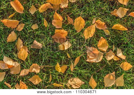 Yellow birch leaves on a lawn.